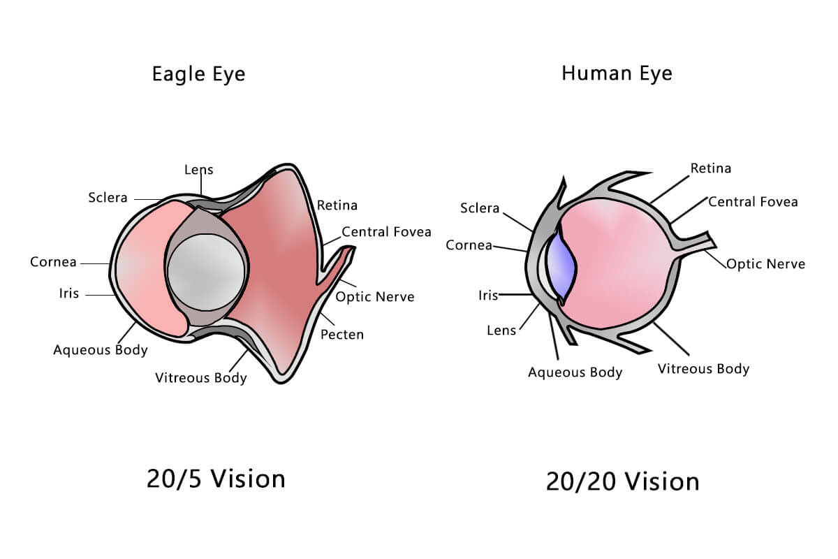 Human Eye vs Eagle Eye